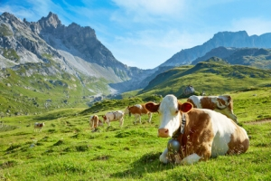 Eine Milchkuh auf einer Weide